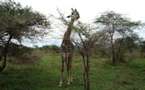<p>This was a giraffe right next to us, eating from an acadia bush, which is one of their favorite foods. </p>