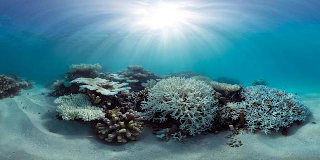 A panorama of coral bleaching in the Maldives inMay 2016.