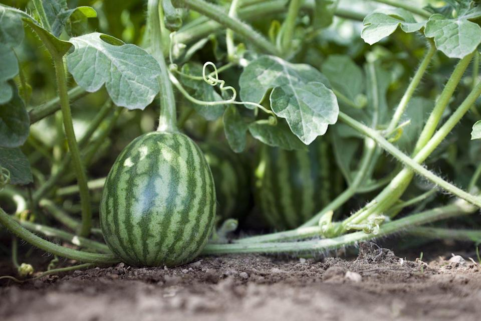 <p>Few produce is more rewarding during a long, hot summer than a cooling melon, and now is a great time to start planting them if you haven't already. Cantaloupes thrive best in Hardiness Zones 5-11 while watermelon can thrive in 3-11. Just be sure that your soil temperature has hit above 60°F for cantaloupes and above 70°F for watermelons before planting your seeds for the season.</p>