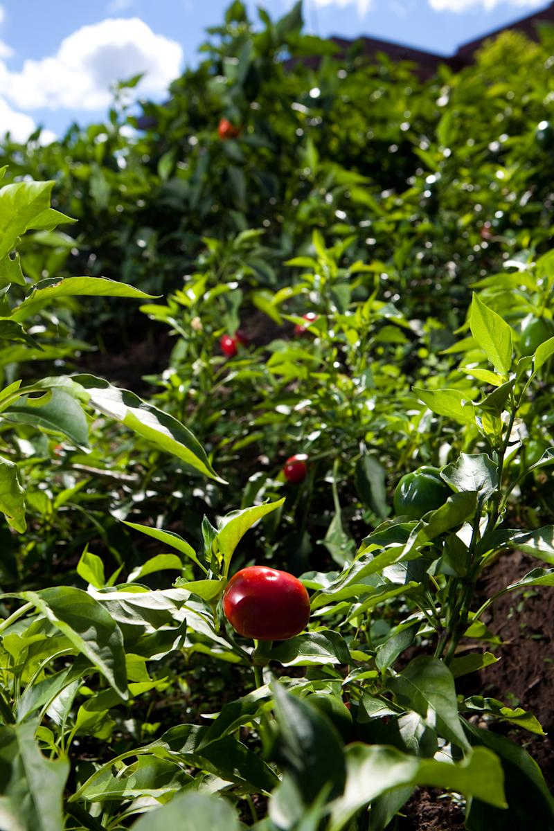 Tomatoes grow in the garden outside The Blue Water Grill in Grand Rapids, Michigan.  The restaurant has replaced it's landscaping with a vegetables and herb garden.  (AP Photo/Adam Bird)