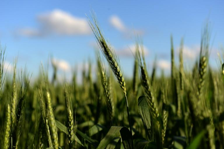 Argentina becomes first country to approve genetically modified wheat