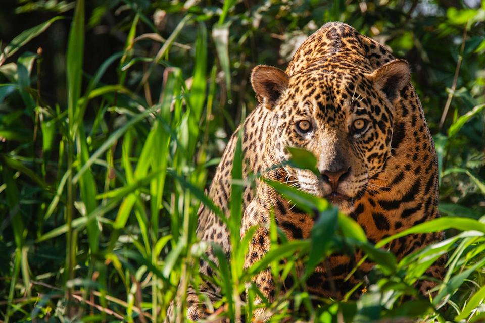 A wild jaguar in the Pantanal - getty