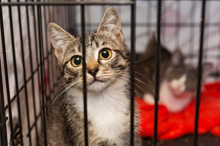 two cats in an animal shelter sitting comfortably in their cage while people raise money