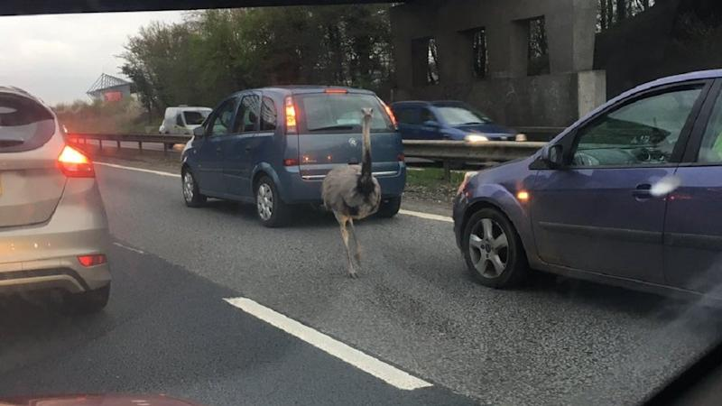 'Runaway ostrich' holds up rush-hour traffic