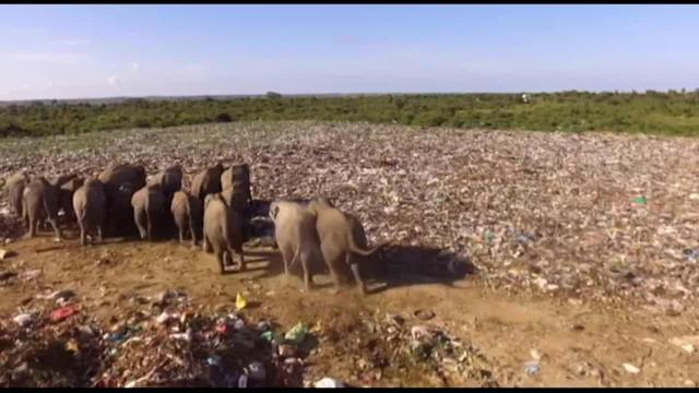 Villagers in a Sri Lankan town are calling for improvements to a rubbish dump after at least six wild elephants died from eating toxic plastic waste. Residents of Deegawapi in the Amparai region are also concerned the giant creatures are encroaching on their farmland and making families feel unsafe. Drone footage shows a heard of elephants eating the man-made mixture at the dump, which lacks fencing or walls. Video from the ground also shows elephants picking up food from the vast tip. It is believed six elephants have so far died from ingesting polyethylene – the main compound in disposable plastics – while searching for food scraps, according to Veterinary surgeon Dr. Nihal Pushpakumara from the Department of Wildlife Conservation in Amparai. The waste is brought from the nearby areas of Akkaraipattu, Sammanthurai and Kalmunai and is simply covered with soil once dumped. Residents of the surrounding areas have also said they feel unable to leave their homes in the late afternoon once the elephants arrive at the dump. The Pradeshiya Sabha municipality has now vowed to build a fence to keep the elephants away from the landfill after complaints from villagers. The footage was filmed on April 24.