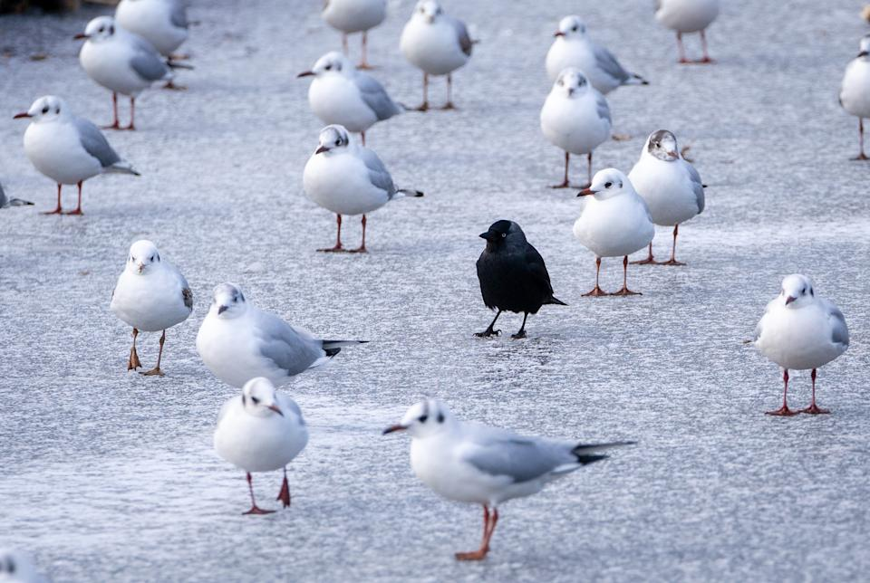 A blackbird stands among gulls on the ice on the frozen pond at Bushy Park, London, as the cold snap continues to grip much of the nation. Picture date: Thursday February 11, 2021. (Photo by Dominic Lipinski/PA Images via Getty Images)