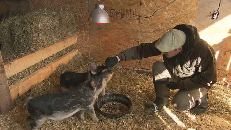 With Huey and Lewis, Albert Co. farmer is trying to save rare pig species
