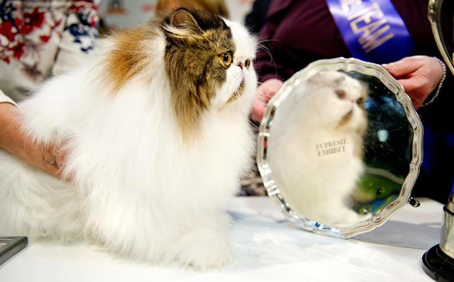 <p>Cullykhan Vivaldi, a Brown Tabby and White Bi-Colour Persian cat and winner of Best In Show participates in the GCCF Supreme Cat Show at National Exhibition Centre on October 28, 2017 in Birmingham, England. (Photo: Shirlaine Forrest/WireImage) </p>