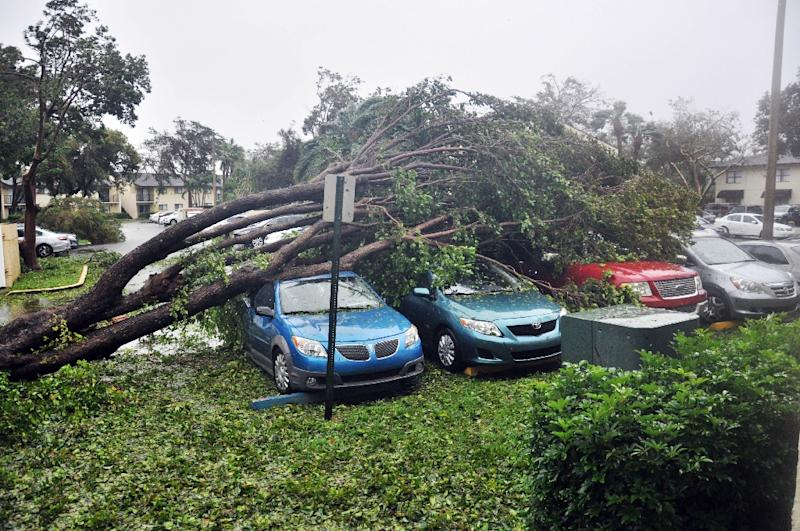 A fallen tree crashes atop a row of cars on September 10 in Miami, Florida in the wake of Hurricane Irma (AFP Photo/Jose CARUCI)
