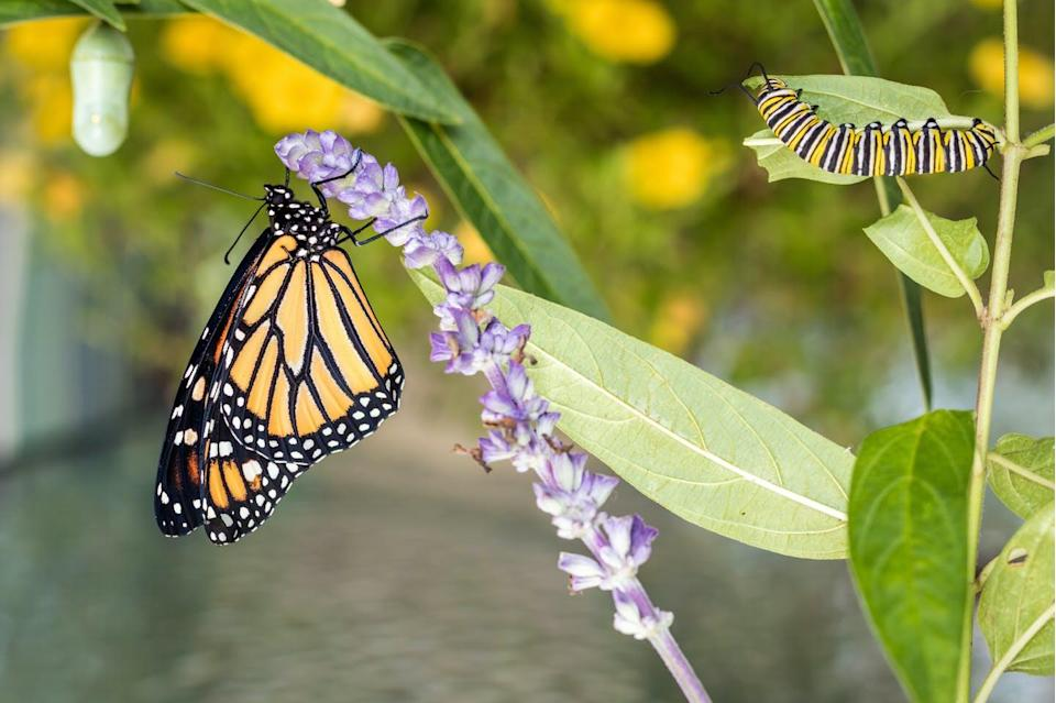 """<span class=""""caption"""">A monarch butterfly's body can reveal where the caterpillar originated from.</span> <span class=""""attribution""""><span class=""""source"""">(Shutterstock)</span></span>"""