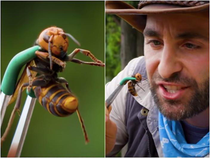 "Coyote Peterson described the ""searing pain"" of the hornet's sting in a 2018 YouTube video."