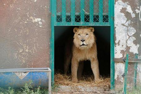Simba the lion, one of two surviving animals in Mosul's zoo, along with Lola the bear, is seen at an enclosure in the shelter after arriving to an animal rehabilitation shelter in Jordan, April 11, 2017. REUTERS/Muhammad Hamed
