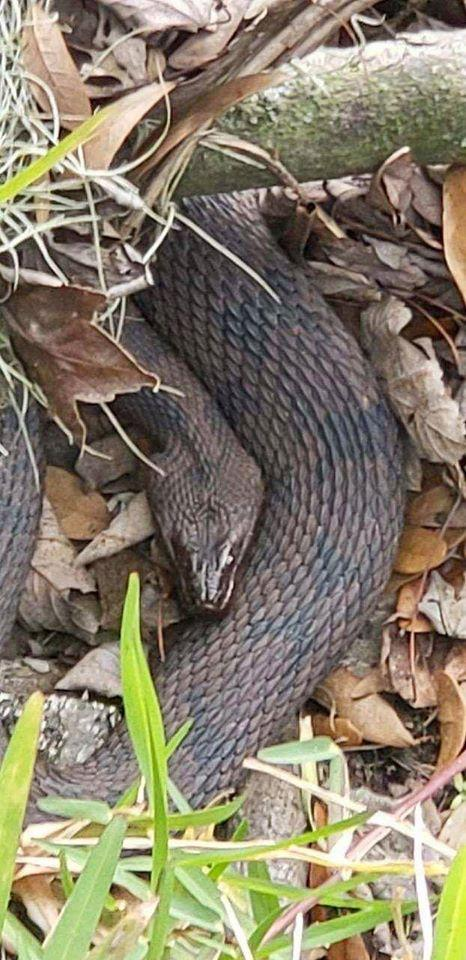 The snakes have been identified as native Brown water snakes, which are generally placid. Source: Facebook/City of Lakeland Parks & Recreation
