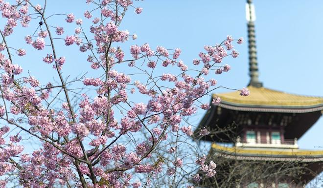 State media's decision to live stream cherry blossom from Wuhan struck different chords with residents. Photo: Xinhua