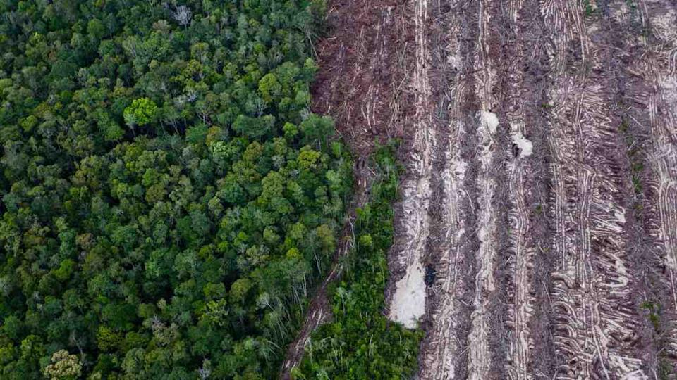 Rainforest juxtaposes with rows of cut trees from the recent clearance of forest inside the PT Wana Catur Jaya Utama palm oil concession in Mantangai, Kapuas district, Central Kalimantan. Image credit: Ulet Ifansasti / Greenpeace