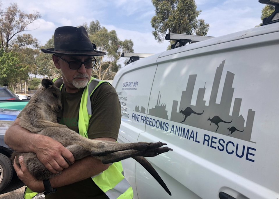 Wildlife carer Manfred Zabinskas holds a young kangaroo in front of a rescue van.