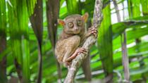 """<p>They aren't the smallest primates on the planet, but they are one of the cutest. According to the New England Primate Conservancy, these large eyed creatures only get to be about <a href=""""https://www.neprimateconservancy.org/philippine-tarsier.html"""" rel=""""nofollow noopener"""" target=""""_blank"""" data-ylk=""""slk:6 inches big and weigh less than half a pound"""" class=""""link rapid-noclick-resp"""">6 inches big and weigh less than half a pound</a>. That's a lot of adorable squished into a tiny package. </p>"""