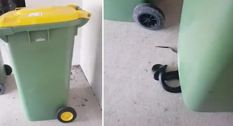 A snake (right) was discovered hiding under a Sunshine Coast resident's wheelie bin (left).