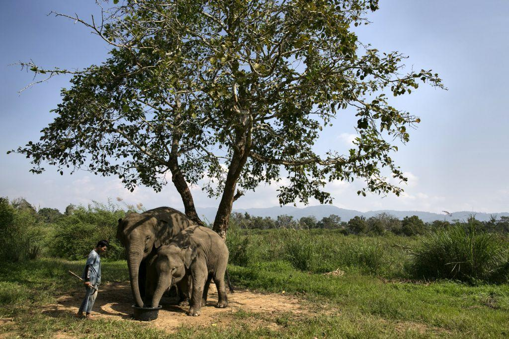 A mahout watches as elephants are fed a coffee bean mixture with fruit and rice at an elephant camp at the Anantara Golden Triangle resort in Golden Triangle, northern Thailand.