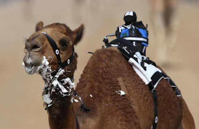 DUBAI, UNITED ARAB EMIRATES - APRIL 16:A camel is seen with a robotic jockey during Al Marmoom Heritage Festival at the Al Marmoom Camel Racetrack on April 16, 2014 in Dubai, United Arab Emirates. The festival promotes the traditional sport of camel racing within the region. (Photo by Francois Nel/Getty Images)