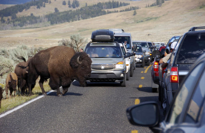 Image: A large bison blocks traffic as tourists take photos of the animals in the Lamar Valley of Yellowstone National Park (Matthew Brown / AP file)