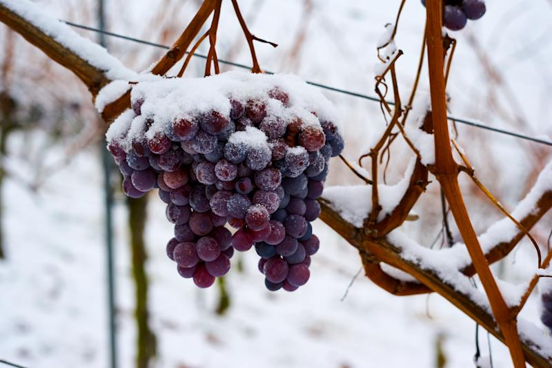 Frozen grapes in winter to make ice wine