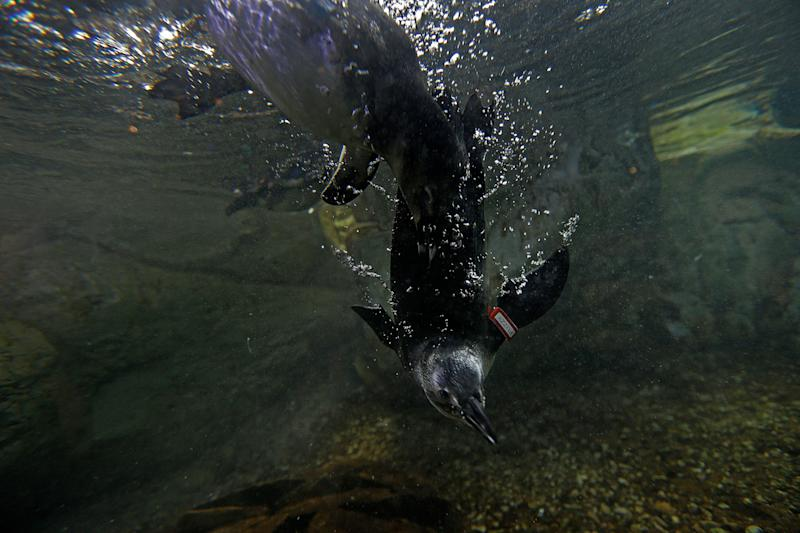 Fuzzy, an endangered African Blackfooted Penguin that was born several months ago at the Audubon Aquarium of the Americas, swims during feeding time at the aquarium in New Orleans, Thursday, Aug. 29, 2013. (AP Photo/Gerald Herbert)