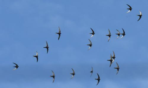 Country diary: are all our swifts out for the count?