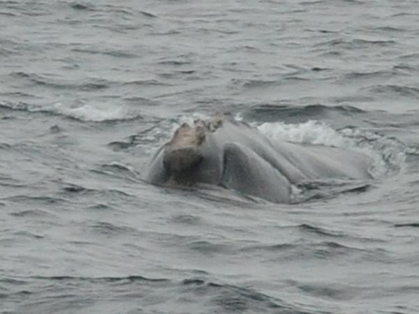 During the expedition, scientists identified four individual right whales, including #3611, seen here, an unnamed male.