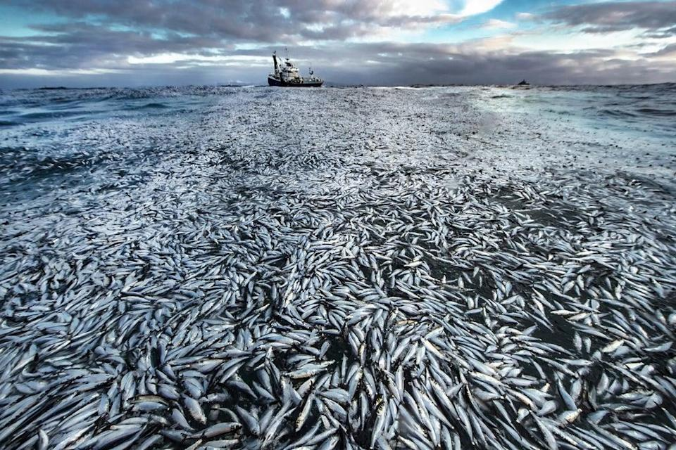 A slick of dead and dying herring covering the surface of the sea off the coast of Norway, which was highly commended in Wildlife Photographer of the Year Oceans: The Bigger Picture Award (Audun Rikardsen/Wildlife Photographer of the Year) (PA Media)