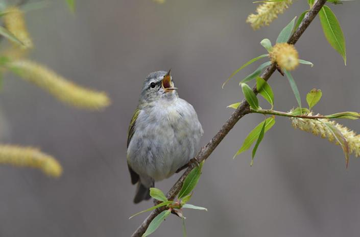 """<span class=""""caption"""">Tennessee warblers (_Leiothlypis peregrina_) breed in northern Canada and spend winters in Central and South America. </span> <span class=""""attribution""""><span class=""""source"""">Kyle Horton</span>, <a class=""""link rapid-noclick-resp"""" href=""""http://creativecommons.org/licenses/by-nd/4.0/"""" rel=""""nofollow noopener"""" target=""""_blank"""" data-ylk=""""slk:CC BY-ND"""">CC BY-ND</a></span>"""
