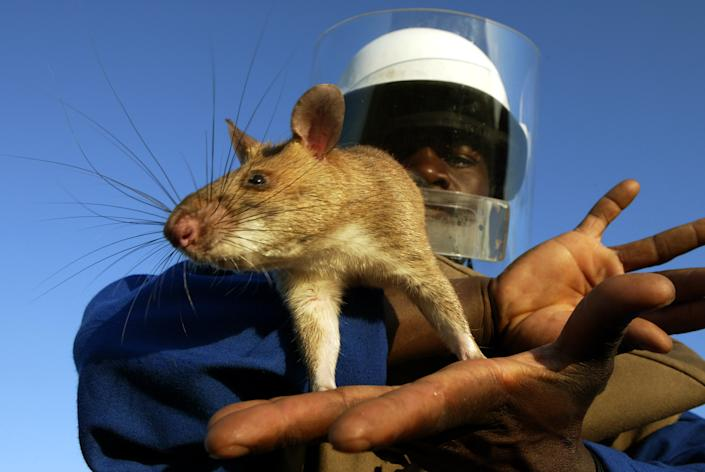 A worker holds a mine detecting Gambian giant pouch rat at a mine field in southern Mozambique. Several giant Gambian pouch rats have been found recently on Florida's Grassy Key despite concerted efforts by conservation officials to eradicate them. REUTERS/Howard Burditt/Files