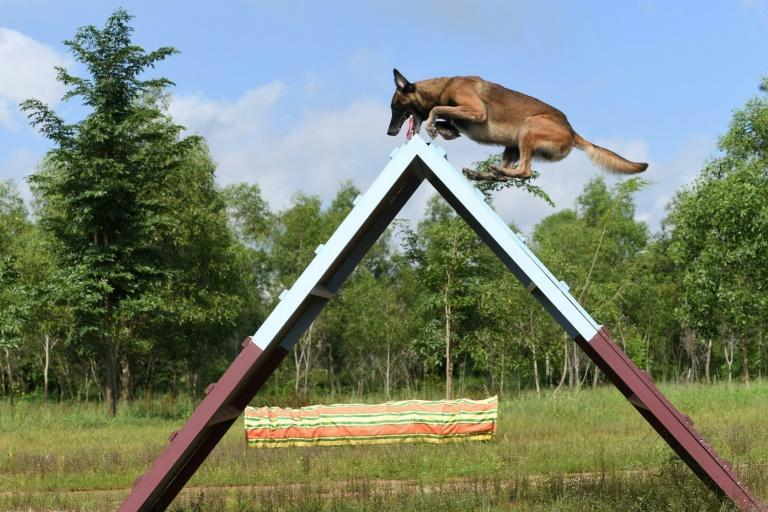 Joining Cambodia's fight against Covid-19 are 12 Belgian Malinois dogs trained to nose out unsuspecting patients who might be carrying the virus (AFP/TANG CHHIN Sothy)