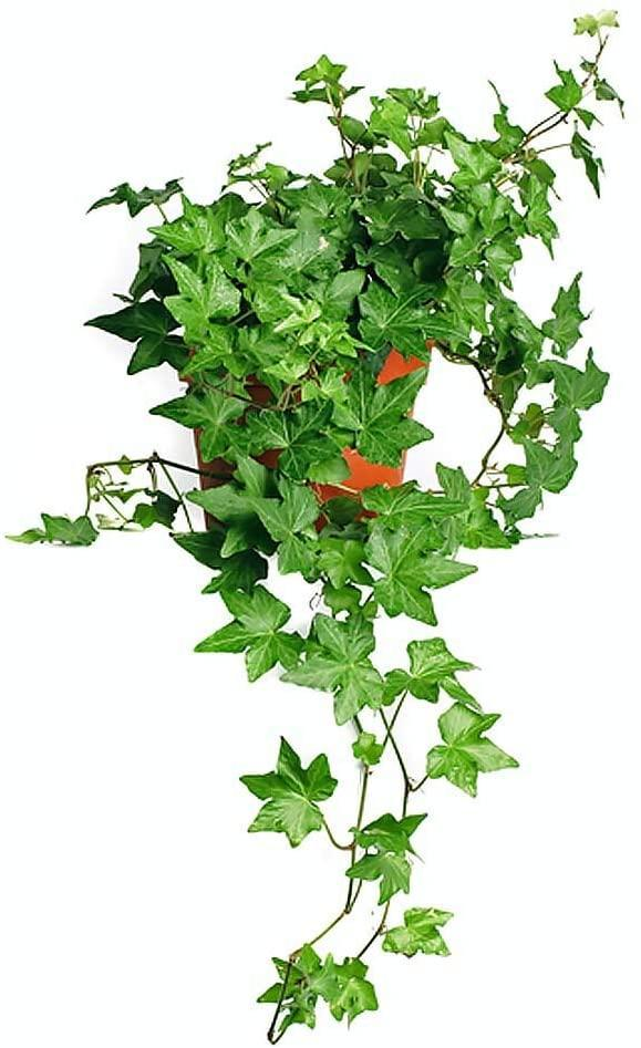 """<h2>English Ivy</h2><br>English ivy has the ability to pull harmful gases into its leaves and roots, thus removing it from the air in your home. However, its air-purifying capability isn't the only thing appealing about this particular plant. """"I love English ivy because I love the idea of trailing a plant around an entire wall,"""" Gallagher shares. """"I wish I had a four-poster bed for this reason.""""<br><br><em>Shop</em> <strong><em><a href=""""https://amzn.to/3srphFa"""" rel=""""nofollow noopener"""" target=""""_blank"""" data-ylk=""""slk:American Plant Exchange"""" class=""""link rapid-noclick-resp"""">American Plant Exchange</a></em></strong><br><br><strong>AMERICAN PLANT EXCHANGE</strong> English Ivy, $, available at <a href=""""https://amzn.to/2Pkileu"""" rel=""""nofollow noopener"""" target=""""_blank"""" data-ylk=""""slk:Amazon"""" class=""""link rapid-noclick-resp"""">Amazon</a>"""