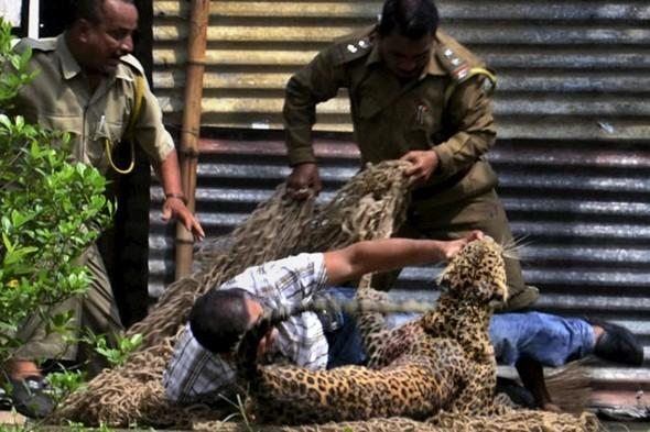 Leopard mauls 13 people on Indian oil compound