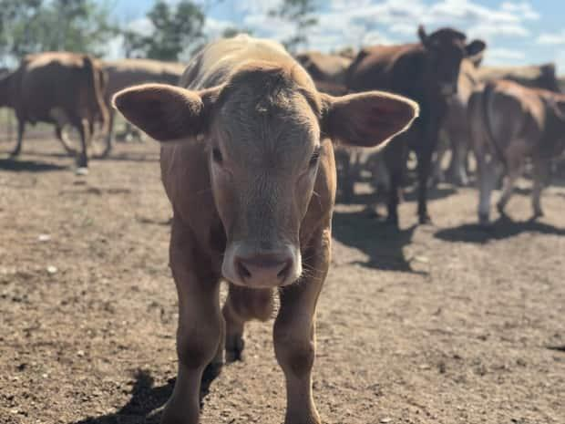 As fall approaches, tough decisions loom as ranchers assesshow many cattle they can afford to keep through winter amid a tight — and pricey — feed market. (Patrick Foucault/Radio-Canada - image credit)