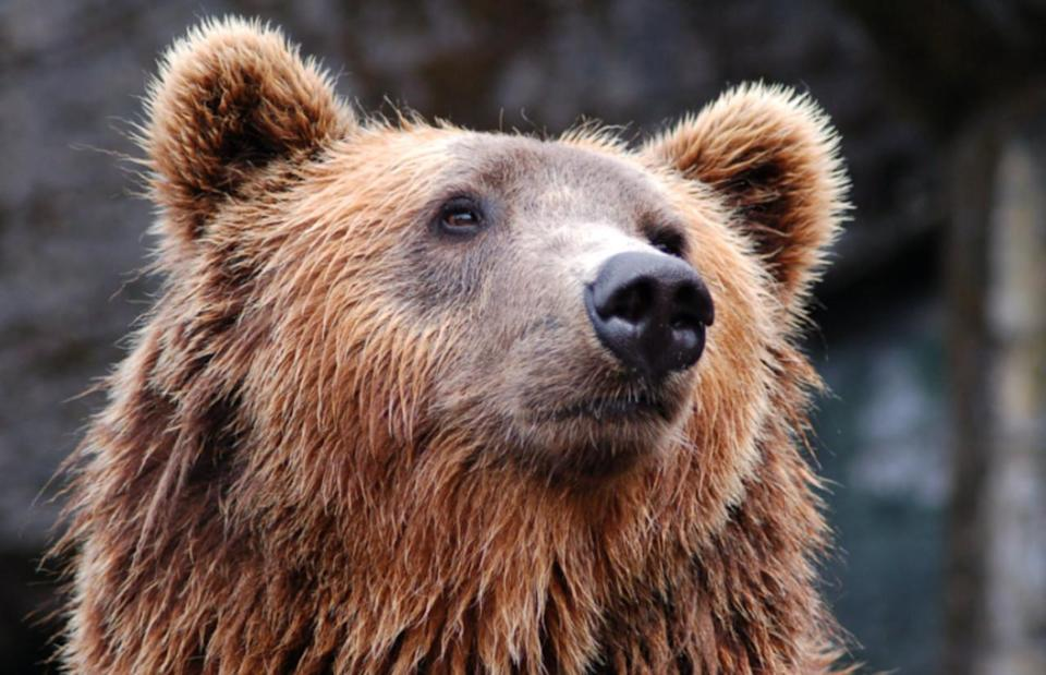 Fall is an important time to be aware of bears. What you need to know