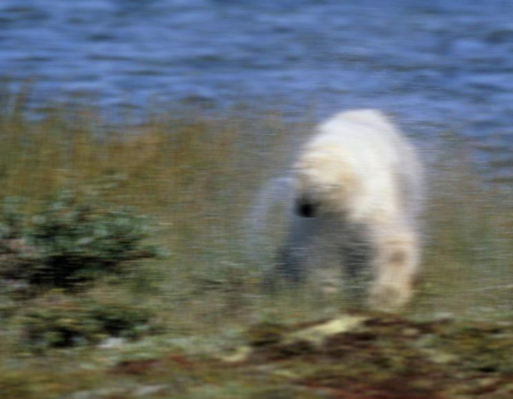 This blurry bear is not Scottish (Picture: WWF)