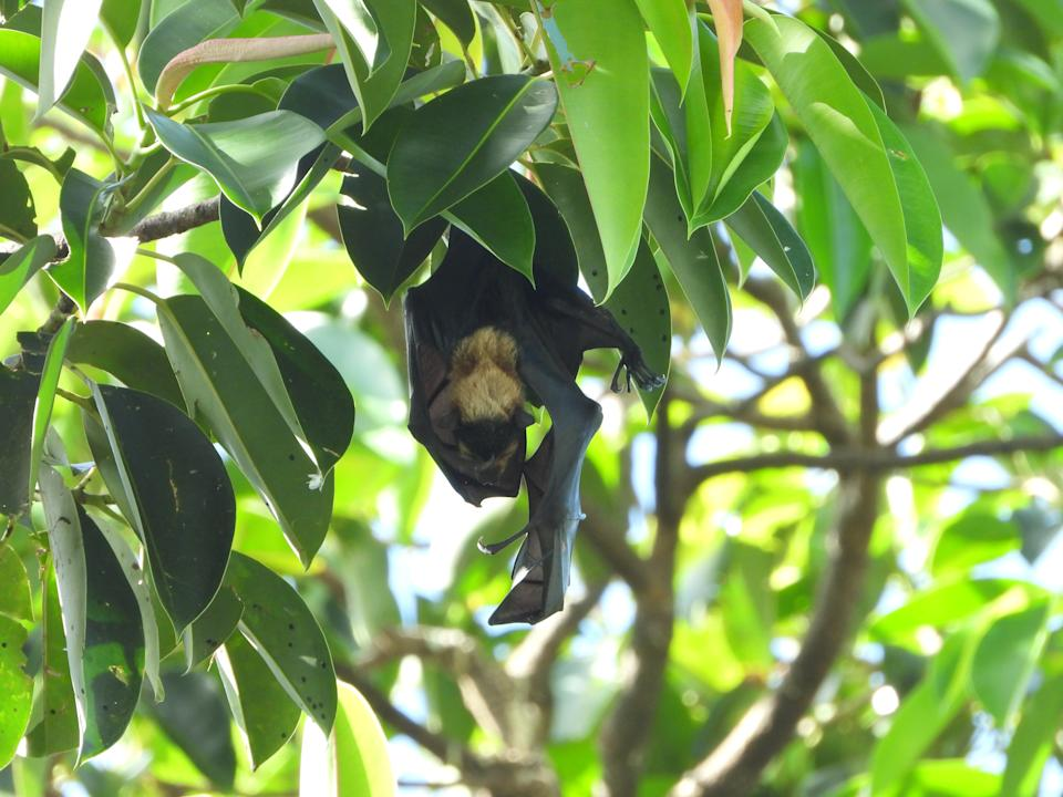 An endangered flying fox pup was filmed by activists on Saturday. Source: Supplied