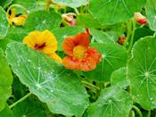 """<p>All parts of this easy-to-grow annual are edible. Toss the lily pad-like leaves and brightly hued flowers in salads or use to garnish grilled fish. </p><p><a class=""""link rapid-noclick-resp"""" href=""""https://www.amazon.com/Davids-Garden-Seeds-Nasturtium-9906/dp/B08L8CLFJ9/?tag=syn-yahoo-20&ascsubtag=%5Bartid%7C10050.g.32157369%5Bsrc%7Cyahoo-us"""" rel=""""nofollow noopener"""" target=""""_blank"""" data-ylk=""""slk:SHOP NOW"""">SHOP NOW</a><br></p>"""