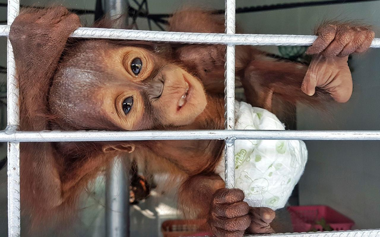 "The discovery last week of two orphaned baby orangutans on Borneo is further evidence that deforestation and illegal hunting are threatening the existence of the great apes, an Indonesian conservation group has claimed. The Borneo Orangutan Survival Foundation has reported the discovery of 19 babies so far this year. In the latest cases of a male, six to eight months old, and a three-year-old female weighing only 11 pounds, it is suspected that their mothers were deliberately killed. Conservation groups have cited it as another indication that the species' extinction is being hastened by habitat destruction through hunting, fires and deforestation for oil palm and pulp plantations. As more forests are cleared, ""hunters are able to reach previously isolated areas and orangutans,"" the foundation said in a statement reported by the Associated Press. ""We have to take a stand to protect remaining habitat and the critically endangered wildlife which lives within. Our forests and our orangutan population are shrinking."" A recently rescued baby orangutan plays with a keeper at Nyaru Menteng Orangutan Rehabilitation Center in Central Kalimantan, Indonesia Credit: Borneo Orangutan Survival (BOS) Foundation  The International Union for Conservation of Nature has declared the reddish-brown great apes, found only in the wild on the Indonesian island of Sumatra and on Borneo, which is split between Indonesia, Malaysia and Brunei, as a critically endangered species. Conservationists were cheered in September, however, by the first baby orangutan to be born at the Pinus Jantho Nature Reserve in Sumatra, a release site for the Sumatran Orangutan Conservation Programme (SOCP). The non-profit group rehabilitates apes that have been kept as pets or come into conflict with humans, reported Mongabay news. The reserve now holds a new population of the endangered primates. ""We really weren't expecting to see this little guy when we went to Jantho the other day, it was a real surprise, and a real treat!"" Sapto Aji Prabowo, head of the Natural Resources Conservation Agency in Aceh Province said."