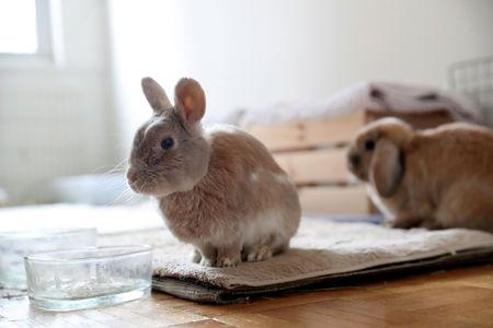 One of the eight bunnies adopted by Jacob Levitt sits at his apartment in New York, U.S., April 11, 2019. REUTERS/Shannon Stapleton