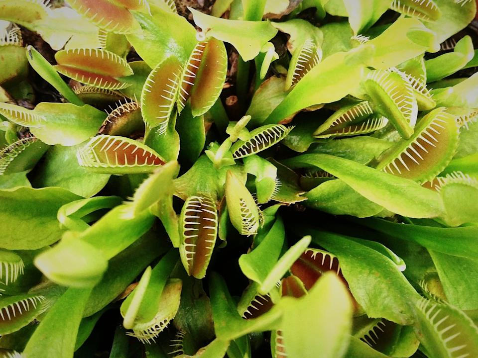 <p>Venus flytraps eat small insects that land inside its leaves and are great plants to pot outside on your deck or near your garden to keep bugs away.</p>