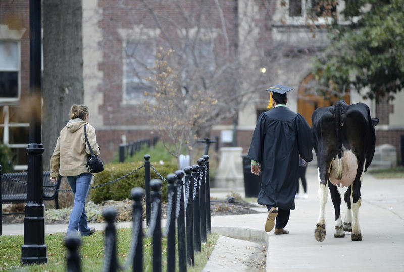 In this Thursday, Dec. 13, 2018 photo, senior animal sciences major Massimo Montalbano, and Amelia, a three year old cow, right, walk on the campus of University of Missouri in Columbia, Mo. Montalbano, brought towering dairy cow to join his commencement photo shoot. Montalbano worked with cattle throughout his undergraduate studies with the university's Foremost Dairy Research Center. (Liv Paggiarino/Missourian via AP)