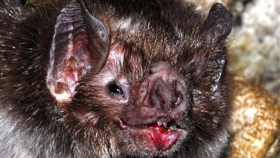 A close-up look of a vampire bat's interesting-looking face.