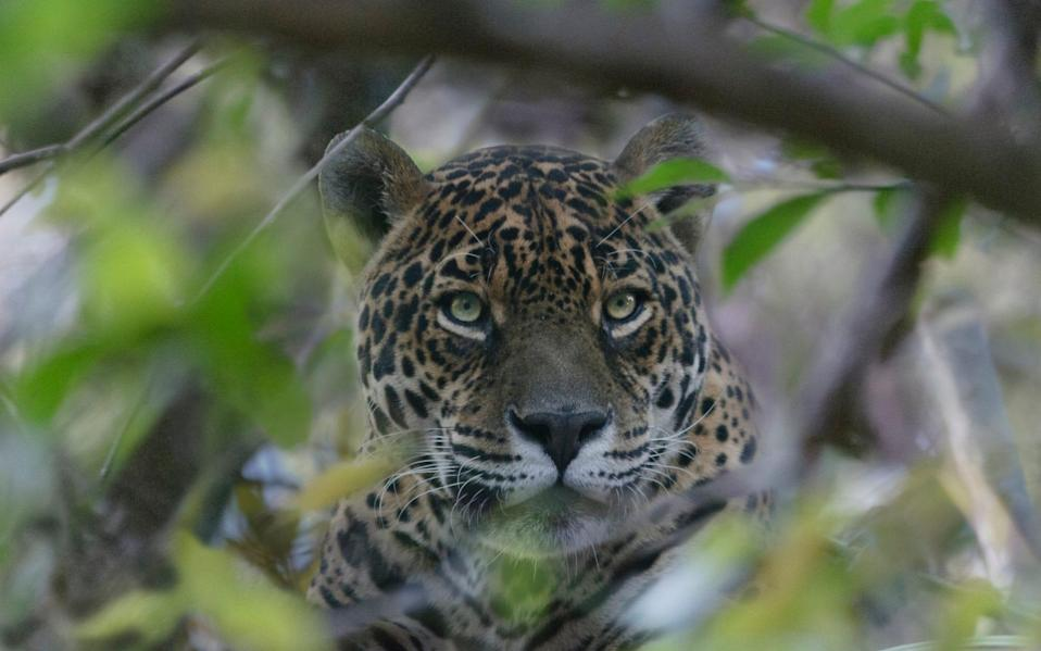 Jaguars, the largest wild cats in the Western hemisphere, are found in 18 countries - Getty