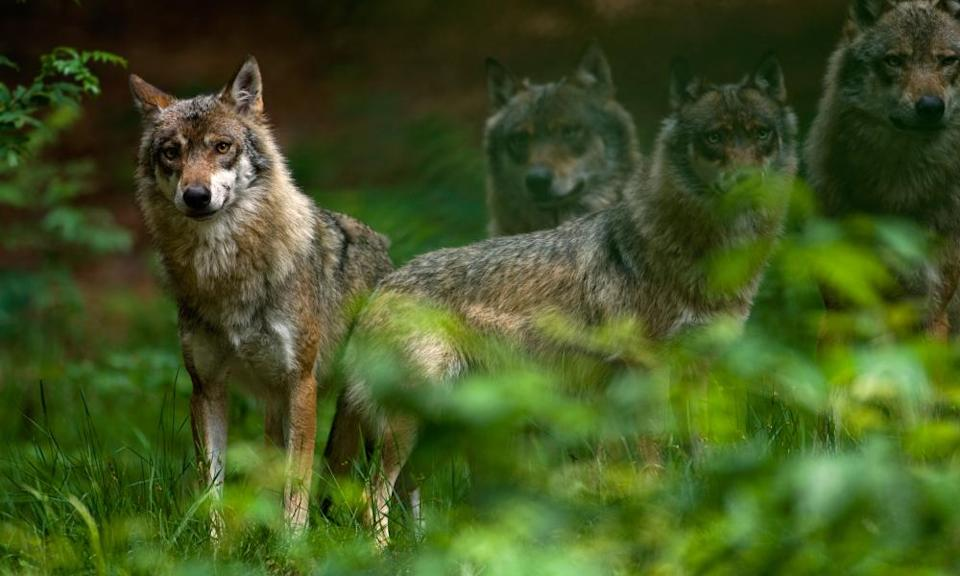Wolves are among the animals making a comeback as human populations decrease.