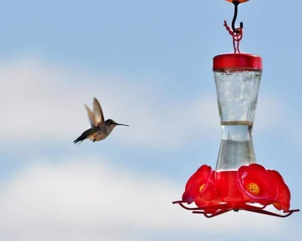 Hummingbirds are attracted to the colour red, but do not add red food colouring to their sweet food, advises Oakley.