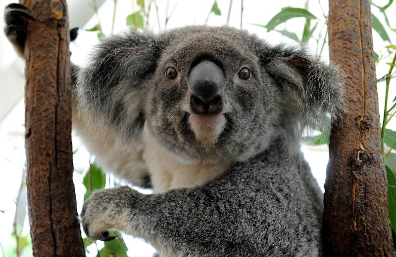 Australia's Queensland state is to list the koala as a 'vulnerable species' throughout the northeastern region, saying urban expansion, car accidents and dog attacks are threatening the much-loved furry animal