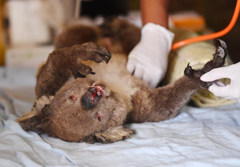 A burnt koala lies on a white sheet. The hands of a doctor can be seen in the background using a stethoscope.